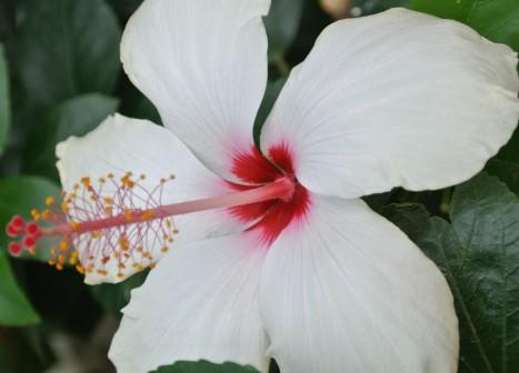 White Hibiscus