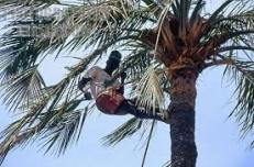 Harvesting red oil palm fruit, Nigeria way