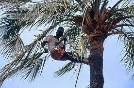 Harvesting red oil palm fruit, Nigeria way