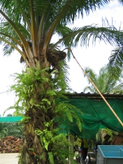 Harvesting red oil palm fruit, Thai way