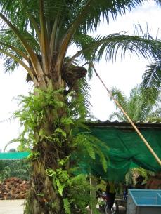 Harvesting red oil palm fruit, Thai way